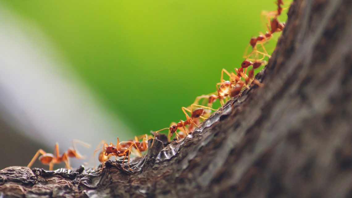 Acabar con las hormigas