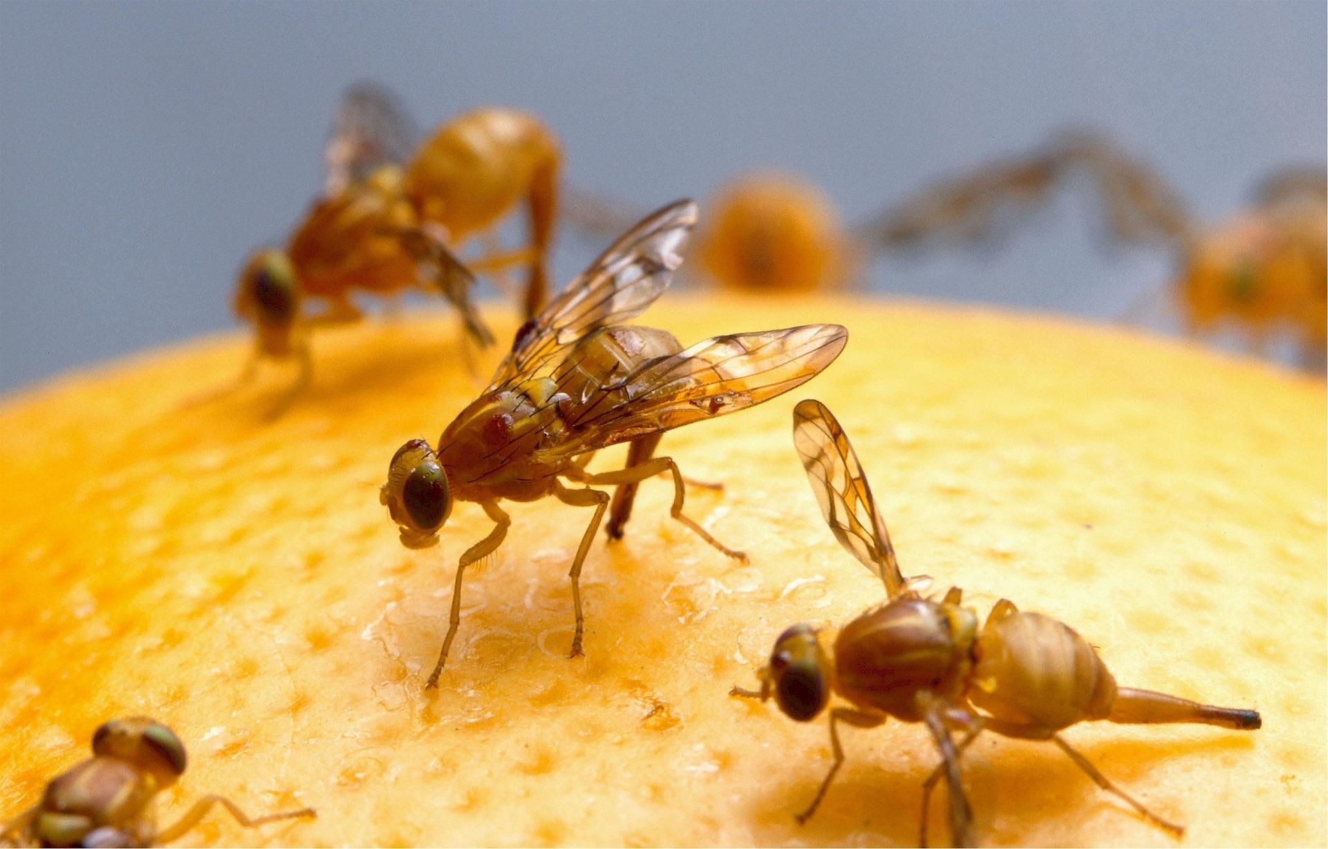 Imagen de  las moscas de la fruta